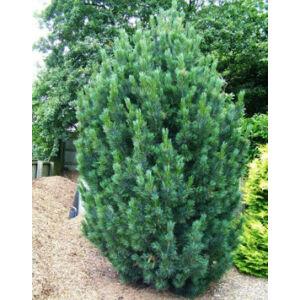 Pinus cembra 'Glauca' – Havasi cirbolyafenyő