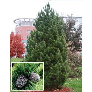 Pinus cembra – Havasi cirbolyafenyő