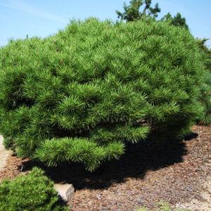 Pinus densiflora 'Alice Verkade' – Japán erdeifenyő