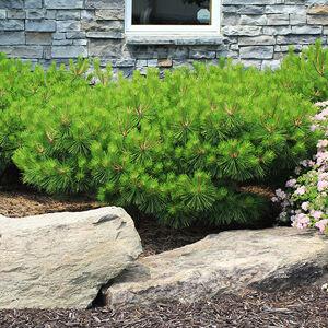Pinus densiflora 'Jane Kluis' – Törpe japán erdeifenyő