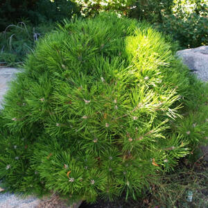 Pinus densiflora 'Low Glow' – Törpe japán erdeifenyő