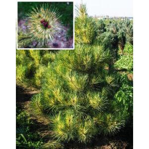 Pinus densiflora 'Okulus Draconis' – Sárkányszem törpefenyő