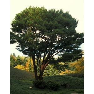 Pinus densiflora 'Umbraculifera' – Törpe vöröskérgű erdeifenyő