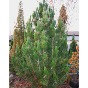 Pinus leucodermis 'Horák' – Páncélfenyő