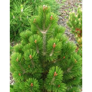 Pinus leucodermis 'Karmel' – Páncélfenyő