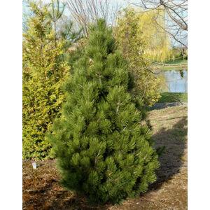Pinus leucodermis 'Malinki' – Páncélfenyő