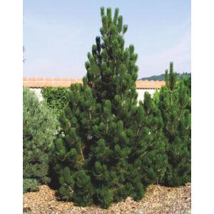 Pinus leucodermis – Páncélfenyő
