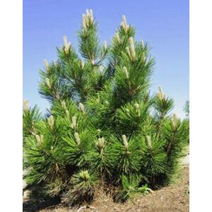 Pinus leucodermis 'Satellit' – Páncélfenyő
