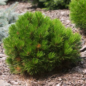 Pinus leucodermis 'Schmidtii' – Törpe páncélfenyő