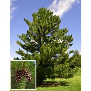 Pinus peuce – Balkáni selyemfenyő