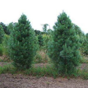 Pinus strobus 'Fastigiata' – Oszlopos selyemfenyő