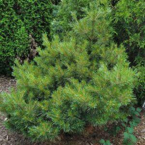Pinus strobus 'Kruger's Lilliput' – Selyemfenyő