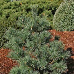 Pinus strobus 'Macopin' – Selyemfenyő