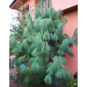 Pinus wallichiana – Himalájai selyemfenyő