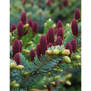 Picea abies 'Acrocona' – Tobozluc