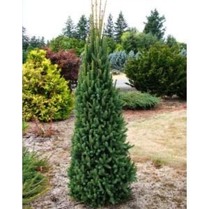 Picea abies 'Cupressina' – Oszlopos lucfenyő