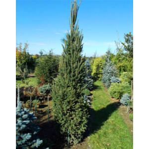 Picea abies 'Fastigiata' – Oszlopos lucfenyő