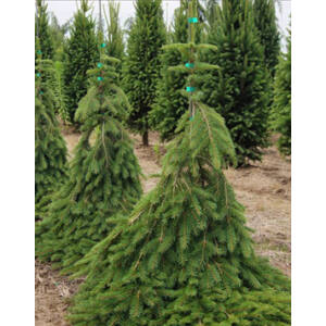 Picea abies 'Formanek' – Terülő lucfenyő