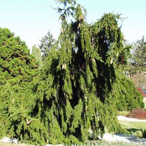 Picea abies 'Inversa' – Csüngő ágú lucfenyő