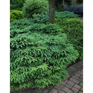 Picea abies 'Nidiformis' – Fészkes lucfenyő