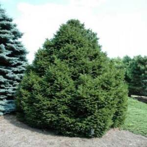 Picea abies 'Parviformis' – Törpe lucfenyő