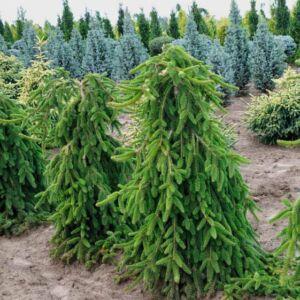 Picea abies 'Pendula' – Csüngőágú lucfenyő