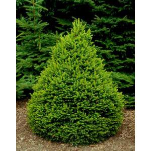 Picea abies 'Remonti' – Norvég lucfenyő