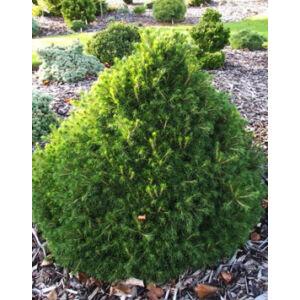 Picea abies 'Tompa Lackó' – Törpe lucfenyő