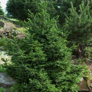 Picea abies 'Will's Zwerg' – Lucfenyő