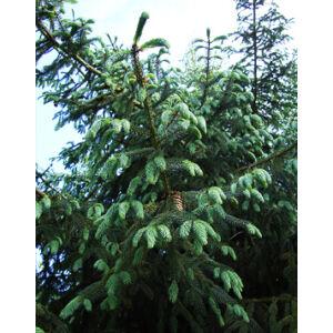 Picea likiangensis var. Balfouriana – Licsiangi lucfenyő