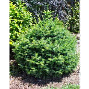 Picea omorika 'Nana' – Törpe, szerb lucfenyő