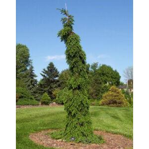 Picea omorika 'Pendula Bruns' – Csüngő, szerb lucfenyő