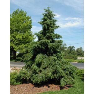 Picea omorika 'Pendula' – Szomorú, szerb lucfenyő