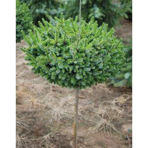 Picea omorika 'Pimoko' – Törpe, szerb lucfenyő