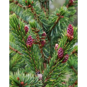 Picea omorika – Szerb lucfenyő (konténeres)