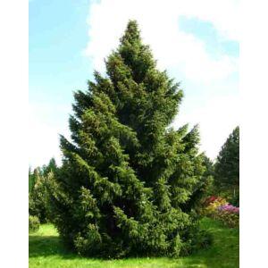 Picea omorika – Szerb lucfenyő