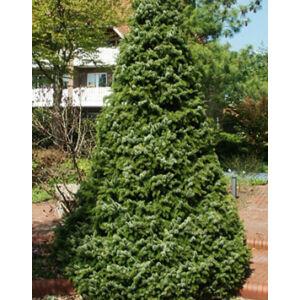 Picea omorika 'Zuckerhut' – Cukorsüveg szerb lucfenyő