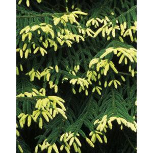 Picea orientalis 'Aureospicata' – Keleti (Kaukázusi) lucfenyő