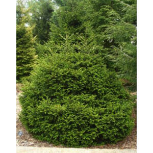 Picea orientalis 'Compacta' – Törpe keleti (Kaukázusi) lucfenyő