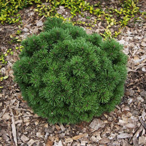 Pinus mugo 'Allgau' – Havasi törpefenyő