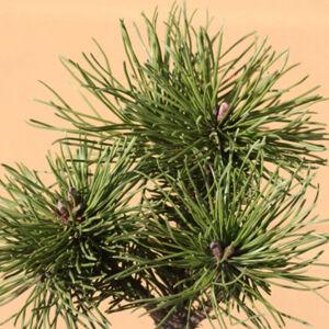 Pinus mugo 'Bozidar' – Havasi törpefenyő