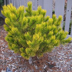Pinus mugo 'Carten's Wintergold – Aranylombú havasi törpefenyő