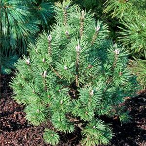 Pinus mugo 'Columbo' – Havasi törpefenyő