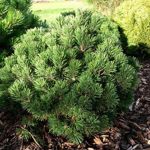 Pinus mugo 'Gnom' – Havasi törpefenyő