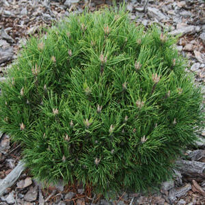 Pinus mugo 'Hesse' – Havasi törpefenyő