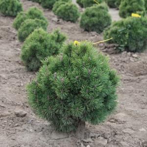 Pinus mugo 'Mops' – Havasi törpefenyő