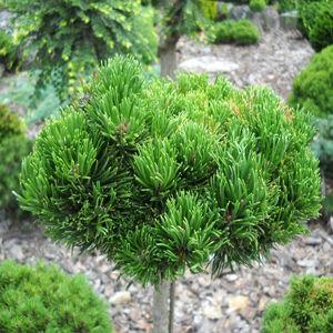Pinus mugo 'Picobello' – Havasi törpefenyő