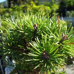 Pinus mugo 'Red Robe' – Havasi törpefenyő