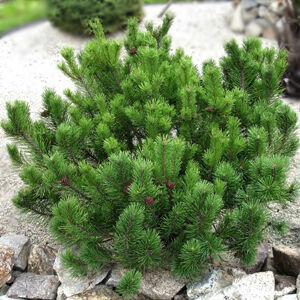 Pinus mugo var. 'Pumilio' – Havasi törpefenyő