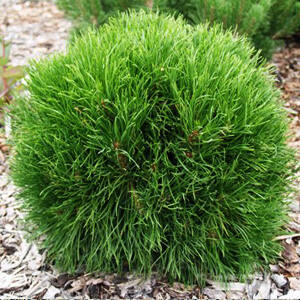 Pinus mugo 'Varella' – Tűpamacsos havasi törpefenyő